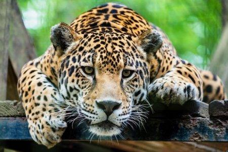 X Jaguar Spirit Animal.jpg