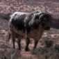 Desert_Bull